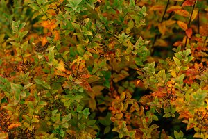 colorful red orange autumn leaves cl