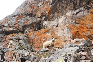 Sheeps in the rocky mountains