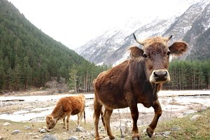 Cows in the Caucasus Mountains