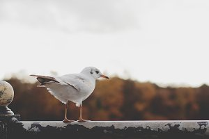 Perching Gull