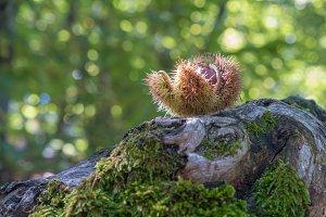 Chestnut fallen open in the chestnut