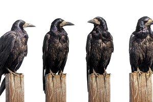 Set of six ravens sit on wooden desk