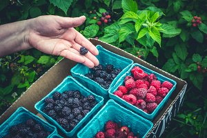 Berry Picking