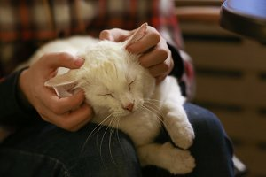 white cat on human lap with stroking