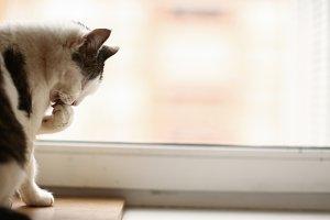 cat washing itself on the windowsill