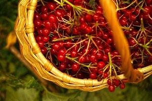viburnum harvest berries in wicker b