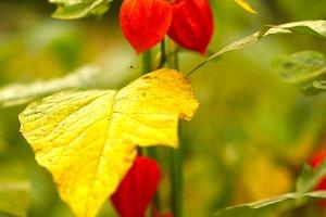 orange physalis fruit flowers close