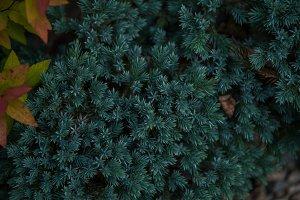 Background texture of fir tree