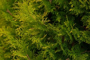 Background texture of thuja