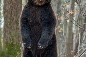 Bear standing on his hind legs in th