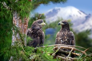 Two eagle sitting on a pine