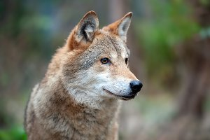 Portrait wolf in autumn forest