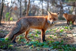 Close red fox in forest