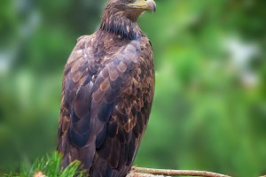 Eagle sitting on a pine