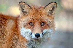Close red fox portrait