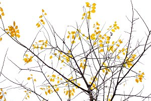 Yellow last leaves on the branches o