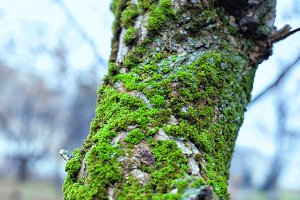 Old tree trunk with moss overgrown.