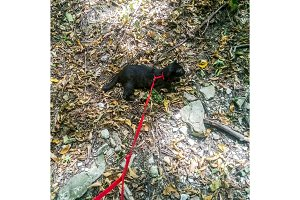 Walk on the harness of the leash of
