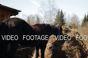 Slow motion black horse eats hay.