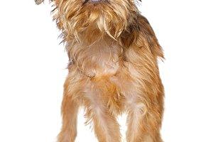 Brussels Griffon puppy