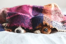 Two dogs under the blanket by  in Animals