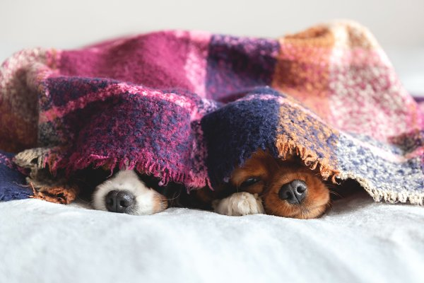 Animal Stock Photos: SunnyDay - Two dogs under the blanket