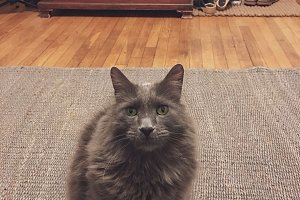 Grey Kitty