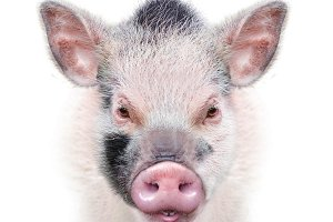 cute spotted piglet head on white