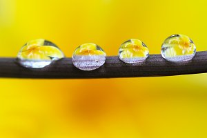 dew and yellow flowers
