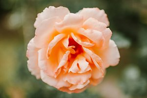 Pink Rose Bud close-up