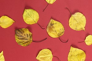many yellow dry apricot leaves on a