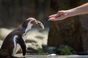 Hand feeding a Humboldt penguin with