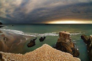 Gannet colony, New Zealand