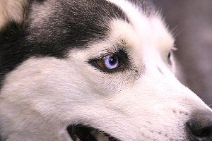 Blue eyed husky dog