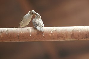 Two sparrow