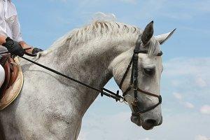 Portrait of dressage horse