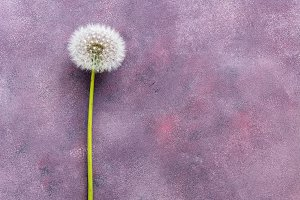 Soft fluffy dandelion on a purple ba