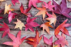 Autumn leaves of reddish colors on r