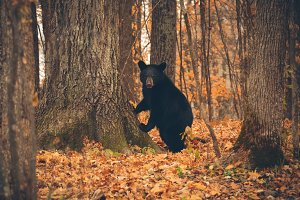 Black Bear Leaning on a Tree