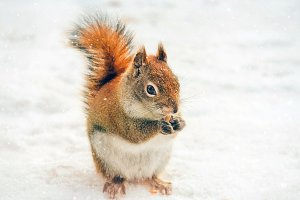 Cute Red Squirrel in the Snow