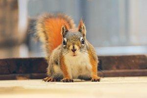 Cute Closeup of a Red Squirrel