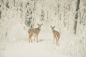 Doe and Buck in the Winter