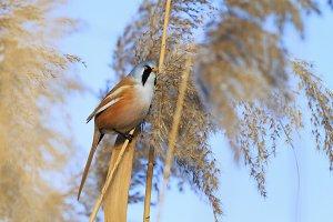 bird with a black mustache sitting