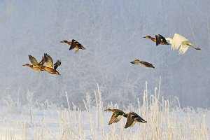 birds fly over the winter landscape