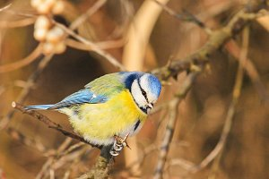blue bird sits among the branches on
