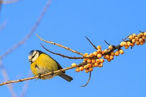 blue tit Sitting on a branch with