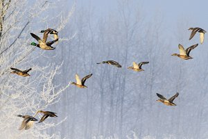 Ducks fly over the snowy woods in