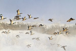 ducks taking off from misty river in