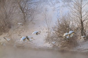 Egrets fly over winter river at