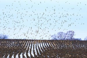 field with parallel lines and birds